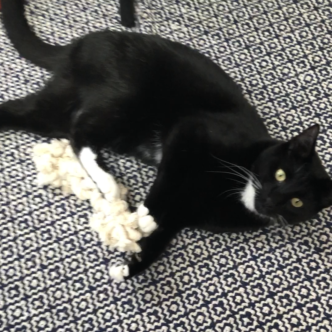 Merlin playing with rope toy Kick It Kitty